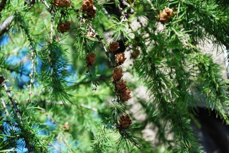 В лесхозах Хабаровского края полным ходом идет сбор шишек