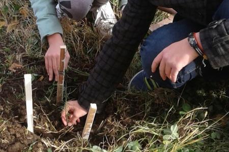 Некрасовские лесоводы украсили поселок сеянцами лиственницы