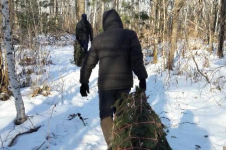 На особо охраняемой природной территории федерального значения выявлен второй случай незаконной рубки ели